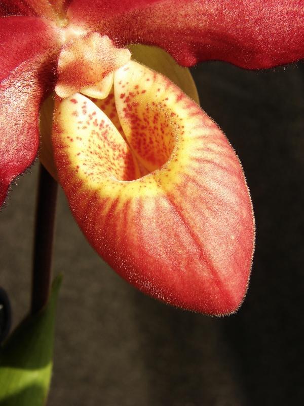 Phragmipedium Memoria Dick Clements (sargentianum x besseae) 842414bouton2014031202