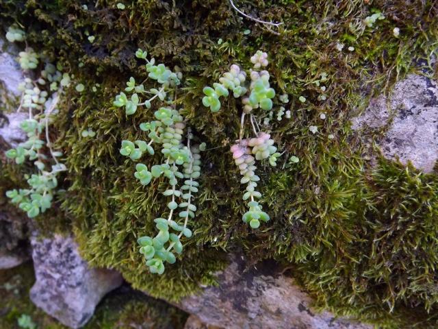 flore des vieux murs, rochers  et rocailles naturelles - Page 2 842654sedumdasy2