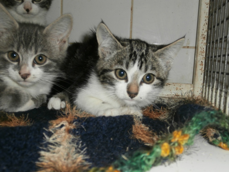 FEE (chaton femelle tigrée noire et blanche) 847189PA151828