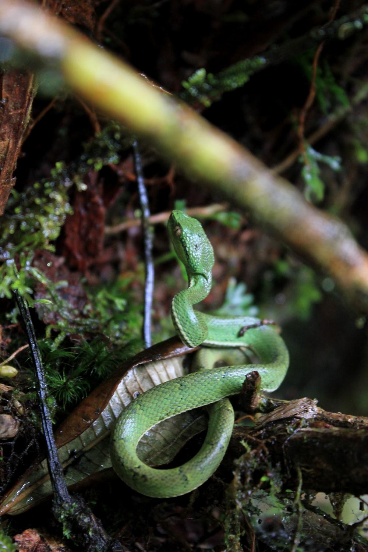 15 jours dans la jungle du Costa Rica - Page 2 856635lateralis11r
