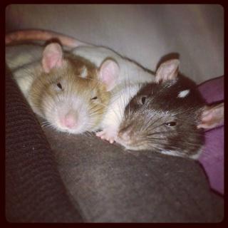 3 rats d'un an et demi cherchent foyer d'ugence 860979162202710638928003075394649783252916593497n