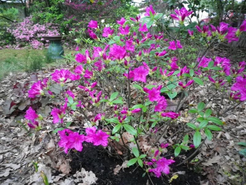 Quelques floraisons - Page 2 871278IMGP3147