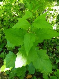 reconnaître les plantes sauvages comestibles 878521IMGP1605