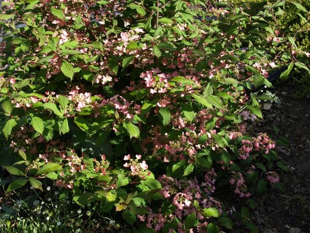 viburnum plicatum molly schroeder 878738P5066228