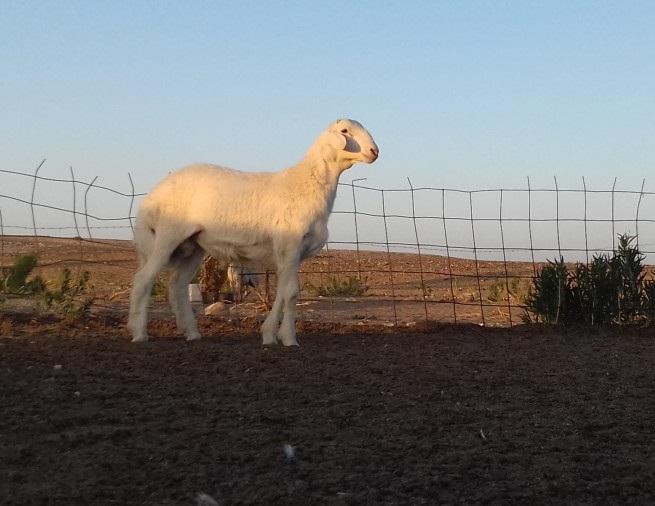 مشروع فحل حري أبرص للبيع 884109891