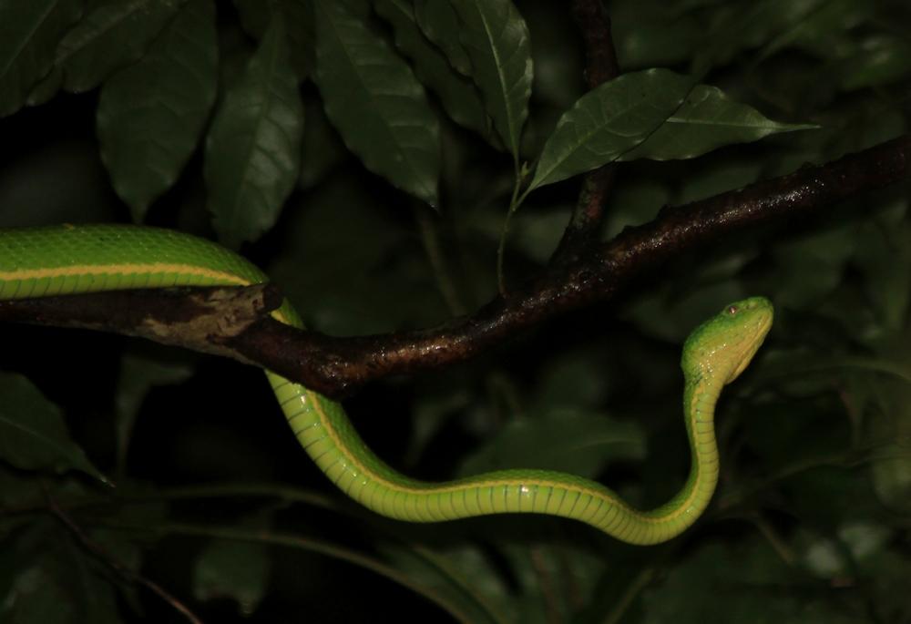 15 jours dans la jungle du Costa Rica - Page 2 886308lateralis4r