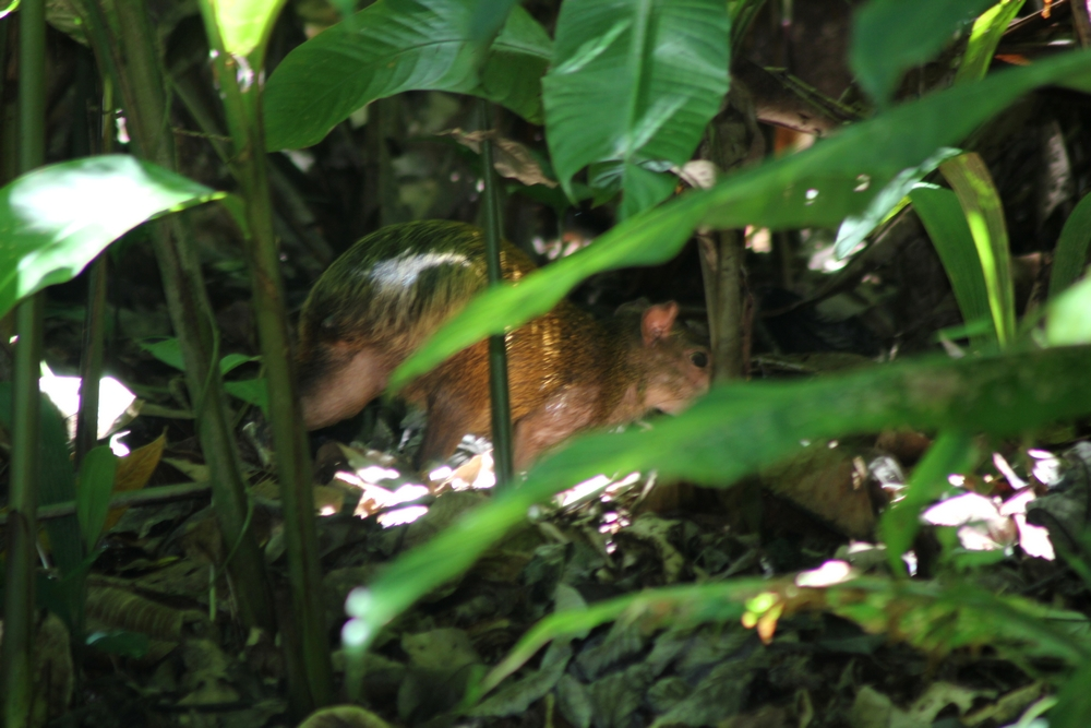 15 jours dans la jungle du Costa Rica 888935agouti