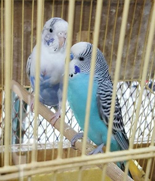 جوز طيور الحب و فروخهما للبيع 890240Z8sat4BHVJZ9N1