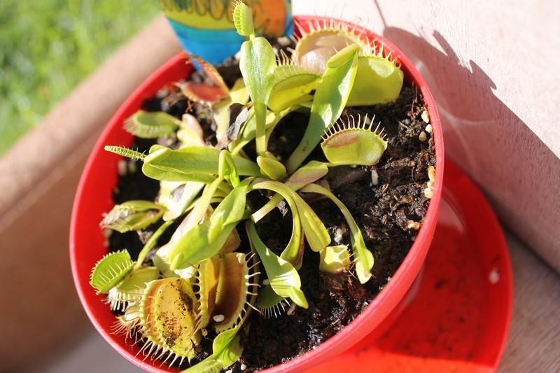 Dionaea Muscipula (Plante carnivore) 89549423aout201518Copier