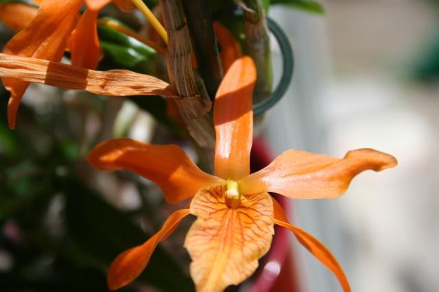 Dendrobium Stardust orange 896127IMG9727