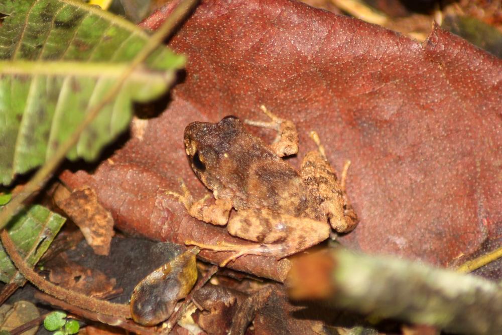15 jours dans la jungle du Costa Rica - Page 2 896203unidentifiedtoadr