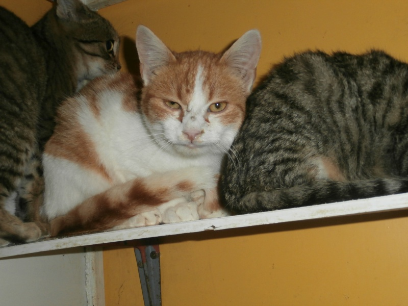 Félin (chaton roux et blanc) 899184PB291791