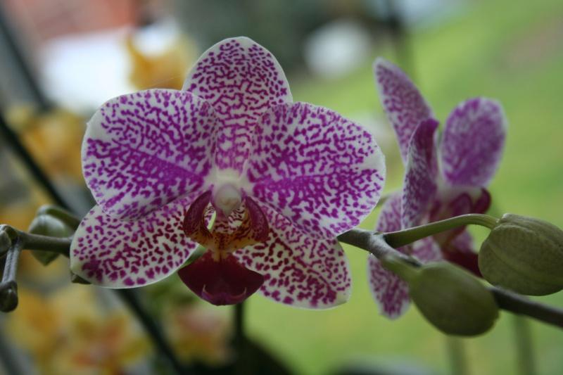 phalaenopsis I-Hsin Golden Prince 899738IMG8824