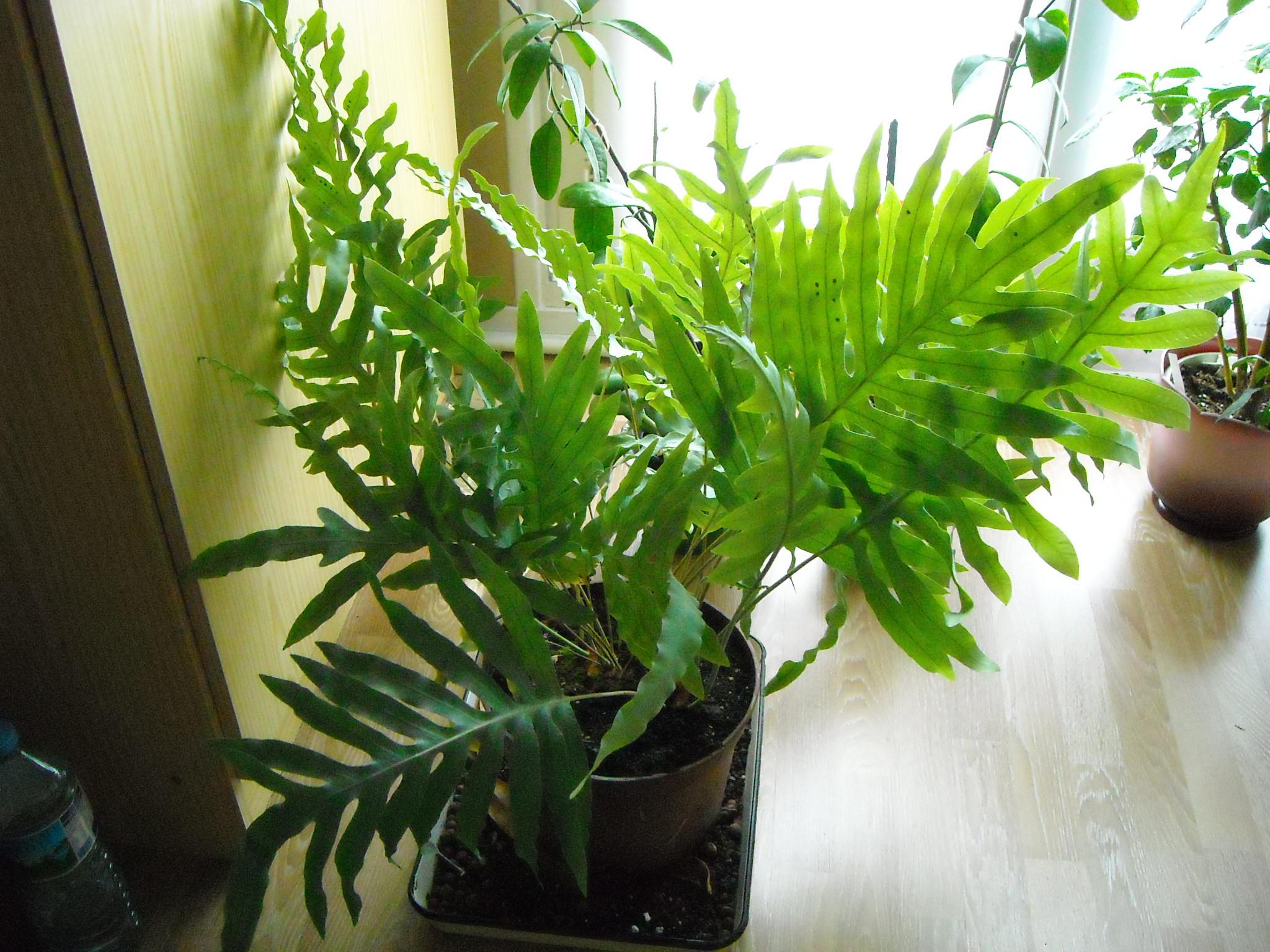 plante que j'ai ramené de chez mon ami Claude 901147plantedeclaude002