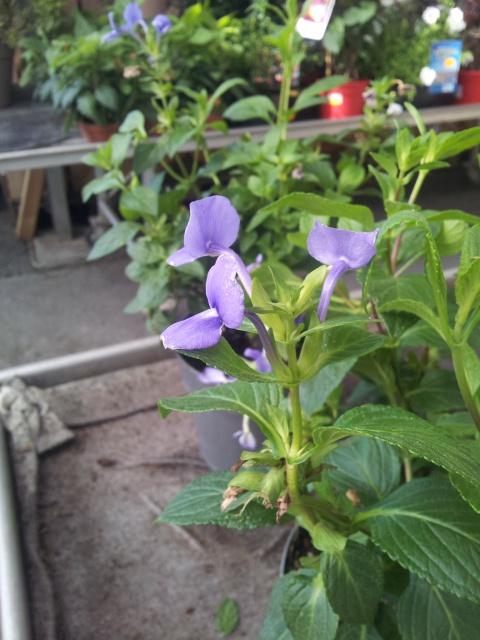 fleur bleue d'une forme peu courante , OTACANTHUS coeruleus (atlantis) 90290320160830110733