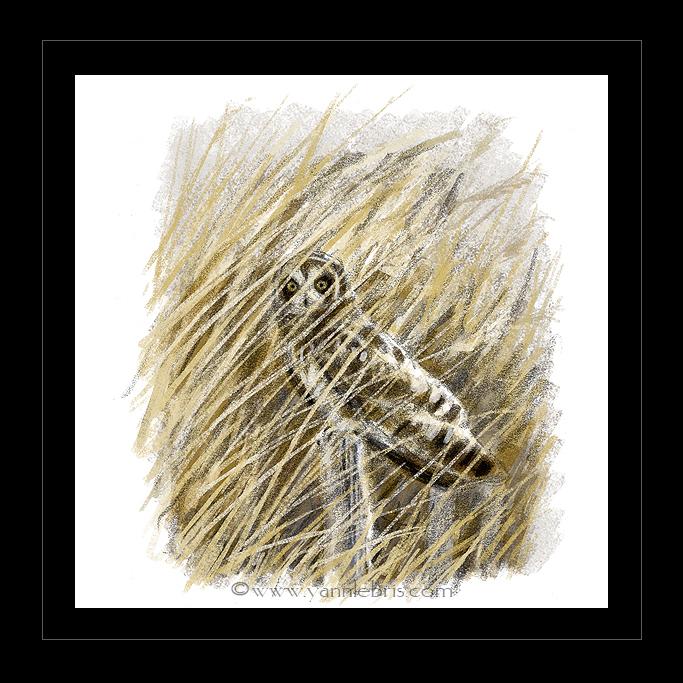hiboux et busards dans les marais de Redon 903479HibMarais2