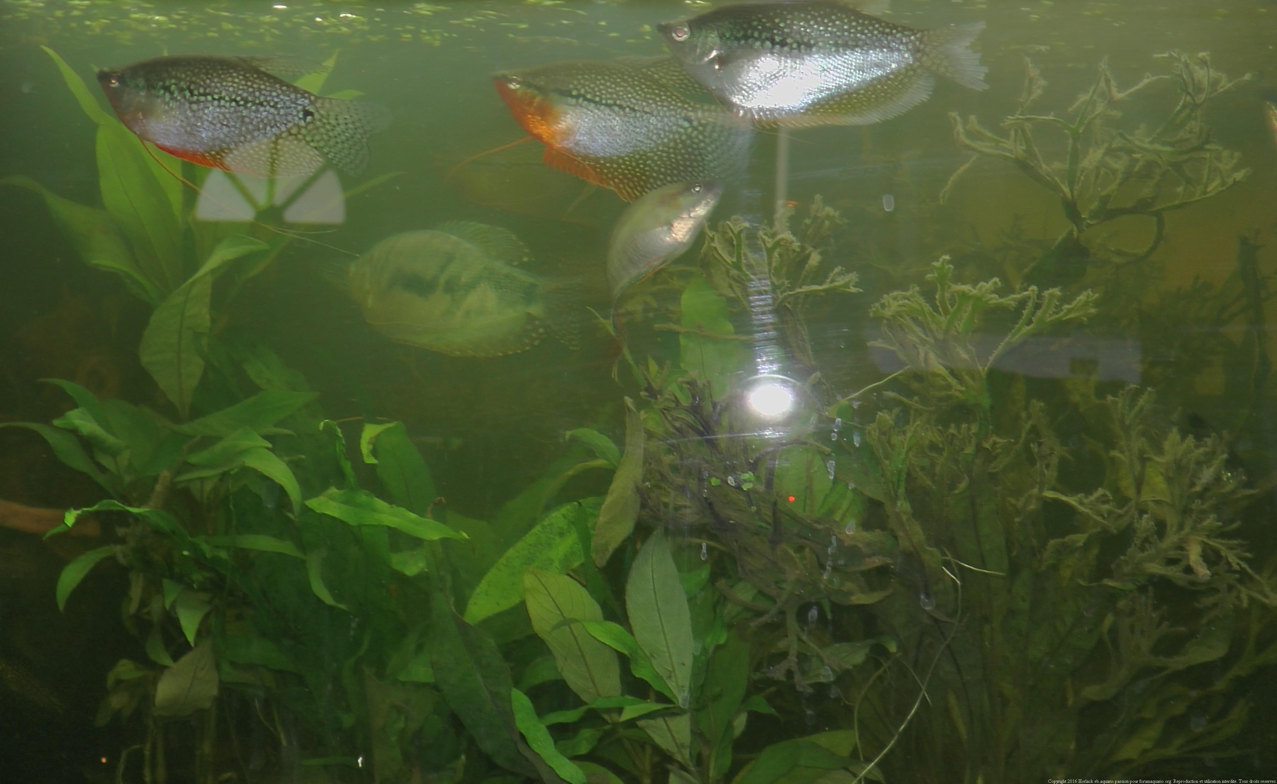 Ménagerie, plus de 3.000L d'aquariums - Page 5 911124GouramiPerl0070
