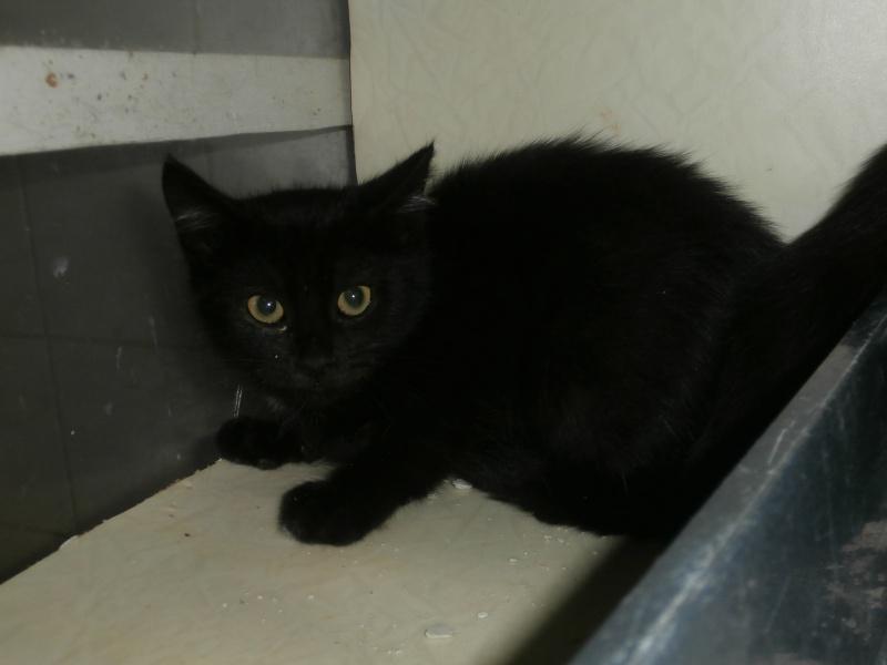 ATTILA (chaton européen noir) 911690PB291801