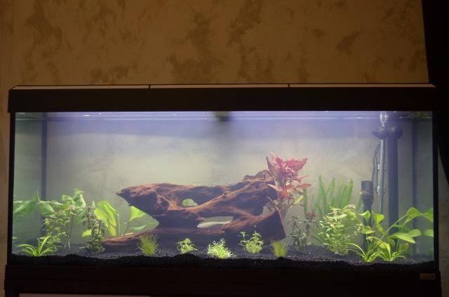 les 1er pas de mon aquarium  de 240 l 920333DSC0253