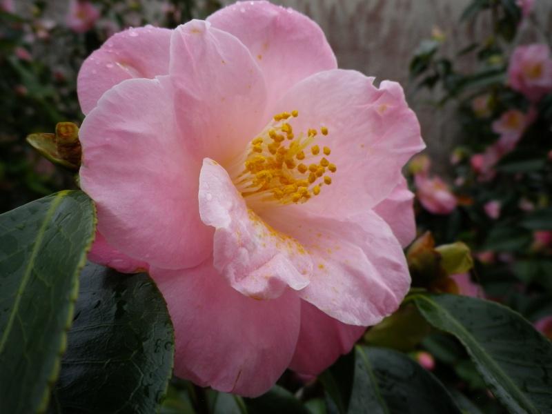 Quelques floraisons - Page 3 929777CamelliaIMGP4552