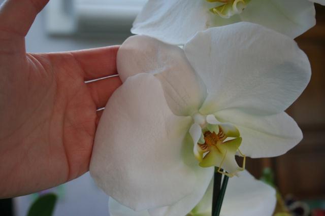 phalaenopsis blanc a fleurs enooooooooormes 930351IMG9667