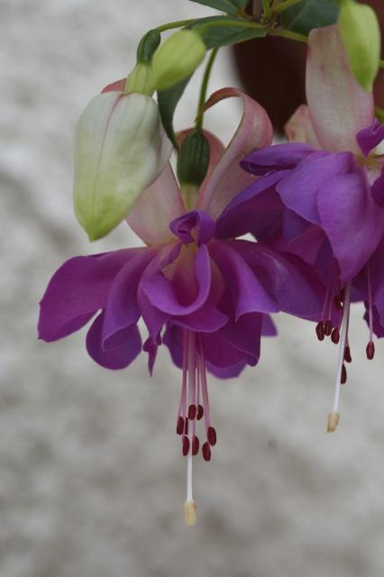 Fuchsia - espèces et variétés frileuses 936772DSC2869