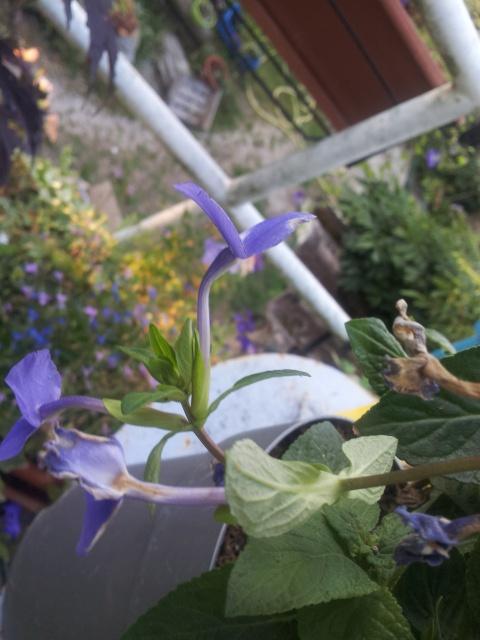 fleur bleue d'une forme peu courante , OTACANTHUS coeruleus (atlantis) 94307620160901074750