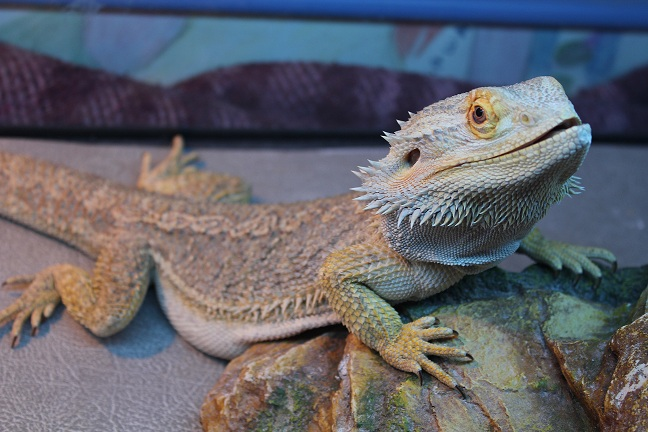 Besoin d'aide pour Bahamut (pogona) - Page 4 946920IMG2403