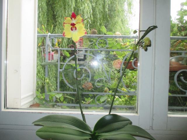 Phalaenopsis Papagayo 949827IMG7329