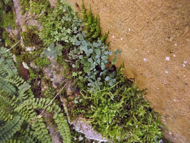 flore des vieux murs, rochers  et rocailles naturelles - Page 4 949885DSCF4904