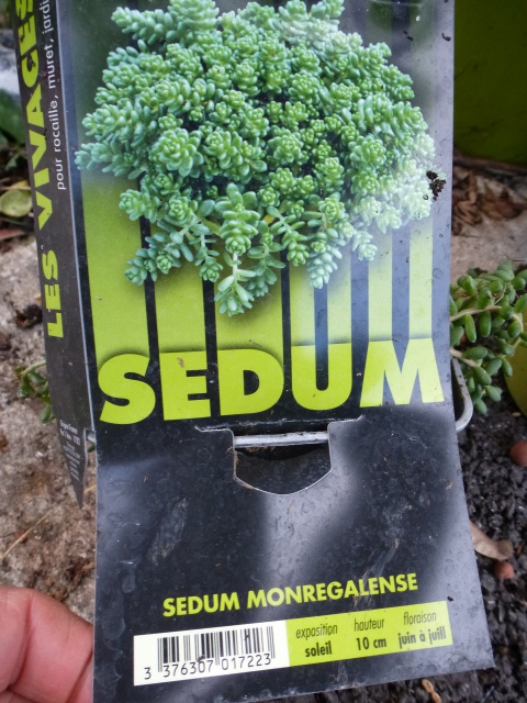 Sedum monregalense - orpin de montereale  951368P1100315