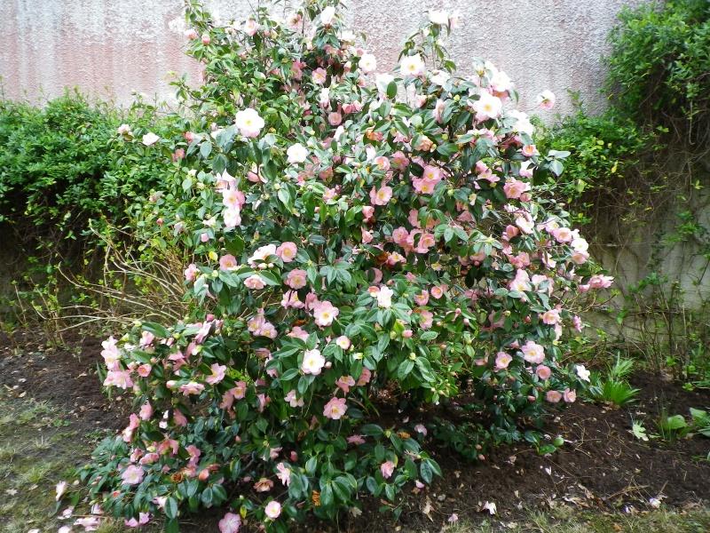 Quelques floraisons - Page 3 952399CamelliaIMGP4549