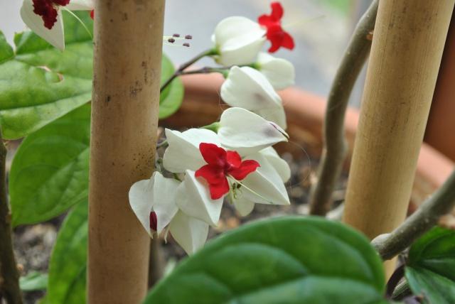 Mon clerodendrum en fleurs  - Page 2 953990DSC0718