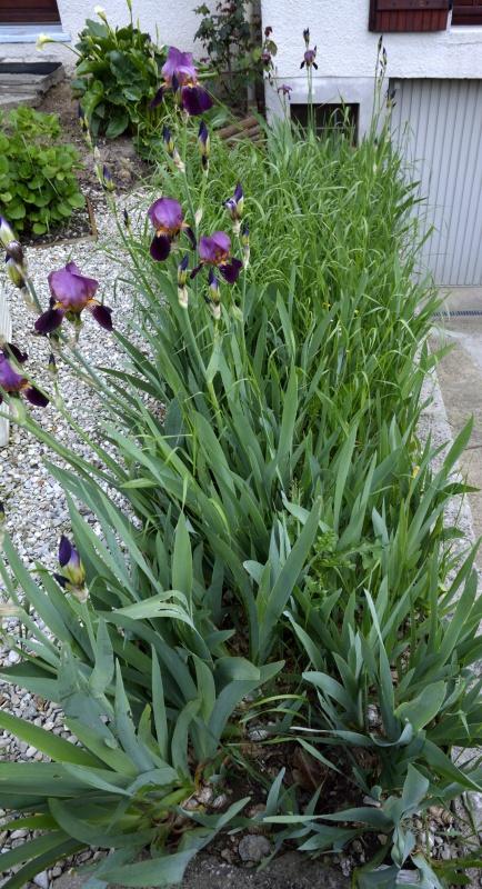 Floraisons 2016 de nos grands iris barbus et Bilan - Page 4 957341DSC2364