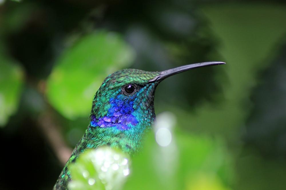 15 jours dans la jungle du Costa Rica - Page 2 958211colib2r