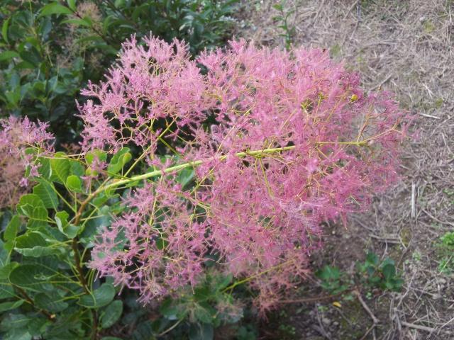 les cotinus (arbre à perruque) 97347320141015135248