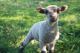 Mouton Shropshire 978305IMG4183