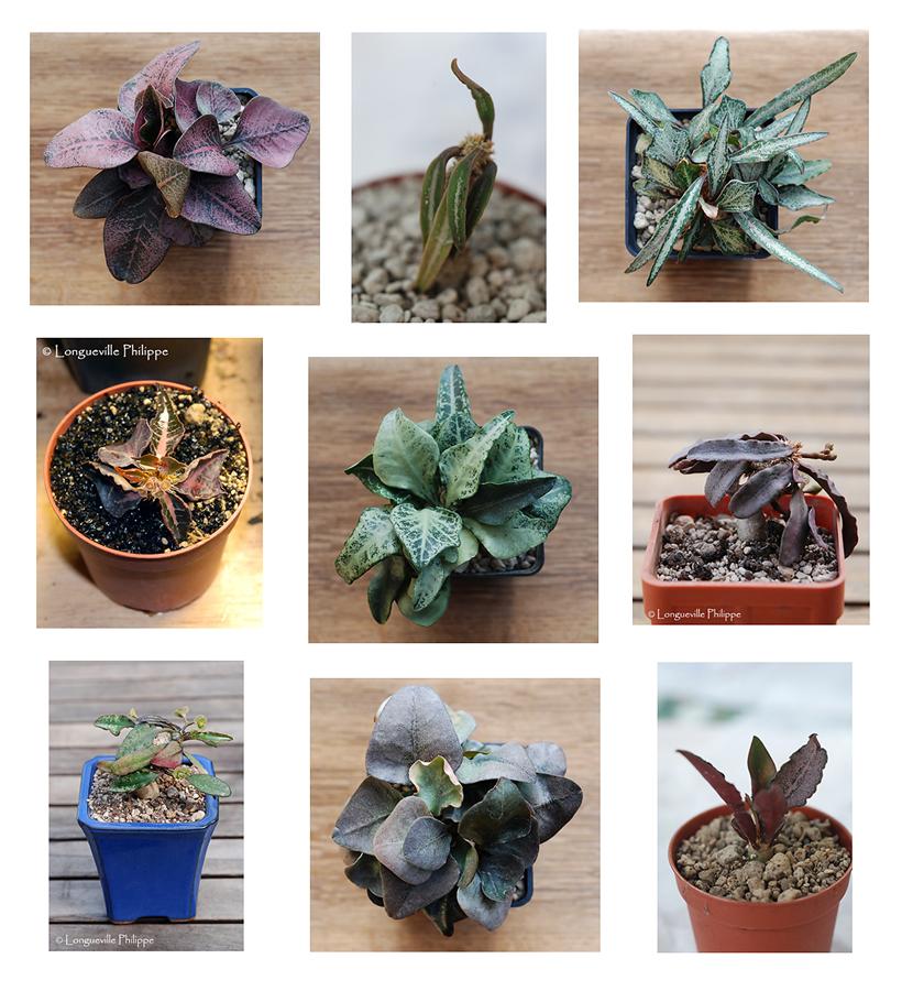 Euphorbia francoisii 978416francoisii2