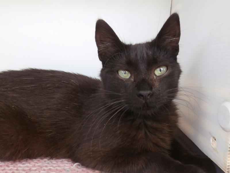 REGLISSE (chaton mâle noir) 987801P6272888
