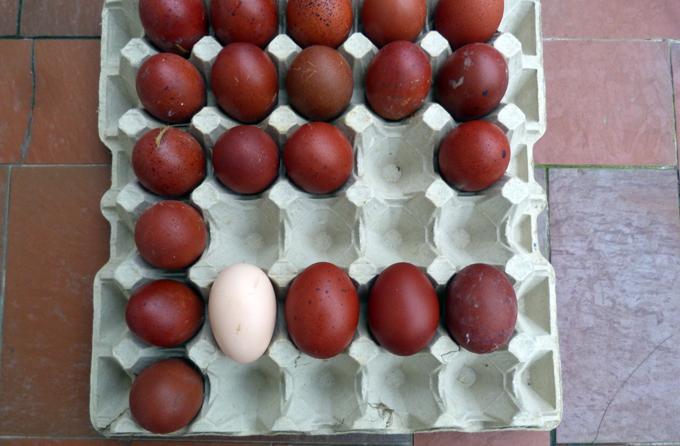 Les œufs de mes jeunes Marans BCC/NCC 991880ufsJ