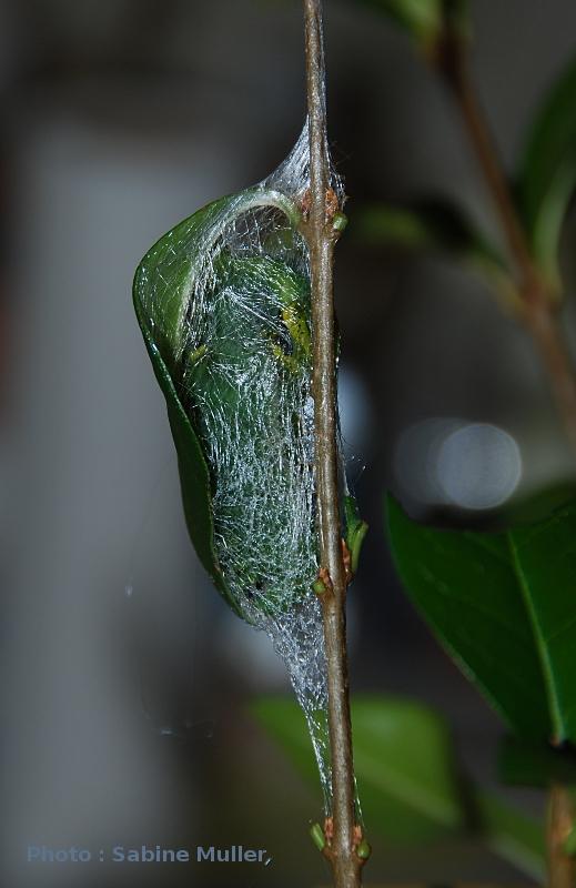 aurota - Rothschildia aurota 996631rothschildiaacoconDSC2032