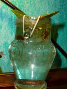 Mes plantes-boutures rescapées de cet hiver... - Page 2 Mini_1180979807
