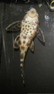 Ménagerie, plus de 3.000L d'aquariums - Page 3 Mini_210640Peckoltia0012