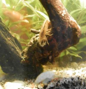 Ménagerie, plus de 3.000L d'aquariums Mini_265799CrevetteBambou0031