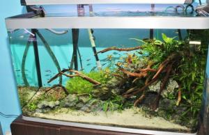 Mes bacs, une passion: l'aquariophilie!! Mini_312823IMG9909