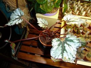 Mes plantes-boutures rescapées de cet hiver... - Page 2 Mini_3139926113