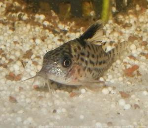 Ménagerie, plus de 3.000L d'aquariums Mini_332145CorydorasAgassizii0001