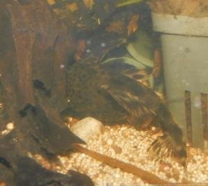 Ménagerie, plus de 3.000L d'aquariums - Page 3 Mini_342269Peckoltia0009