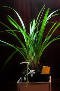 cymbidium dayanum Mini_34914620161021014