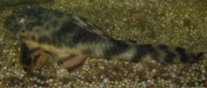 Ménagerie, plus de 3.000L d'aquariums - Page 3 Mini_409459Peckoltia0018